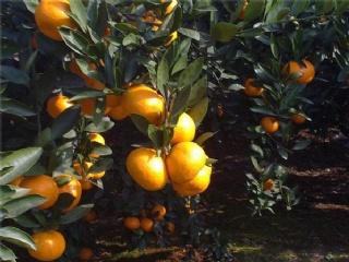 柑橘苗的主要病虫危害有哪些,如何防治