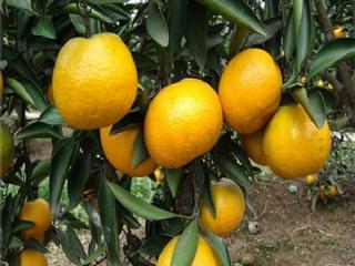 造成柑橘苗假死的原因有哪些,如何防治