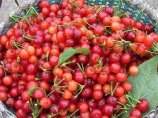 短柄樱桃苗的快速育苗方法,樱桃苗批发基地在哪