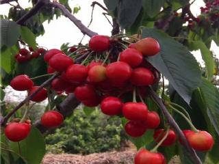 樱桃树苗高产的一些误区要注意