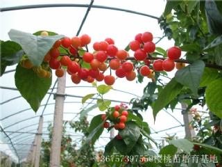 樱桃树苗生长需要怎么样的生存环境
