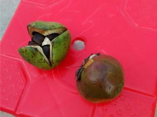 浙江红花油茶苗基地为你介绍红花油茶品种特性