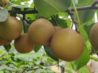 推荐四个梨苗品种南方可种做采摘园合适
