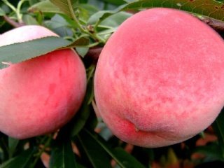 桃苗品种推荐-今年种什么品种的桃好