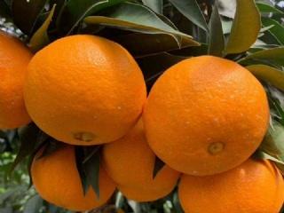 象山黄美人柑橘与红美人柑橘品种对比分析