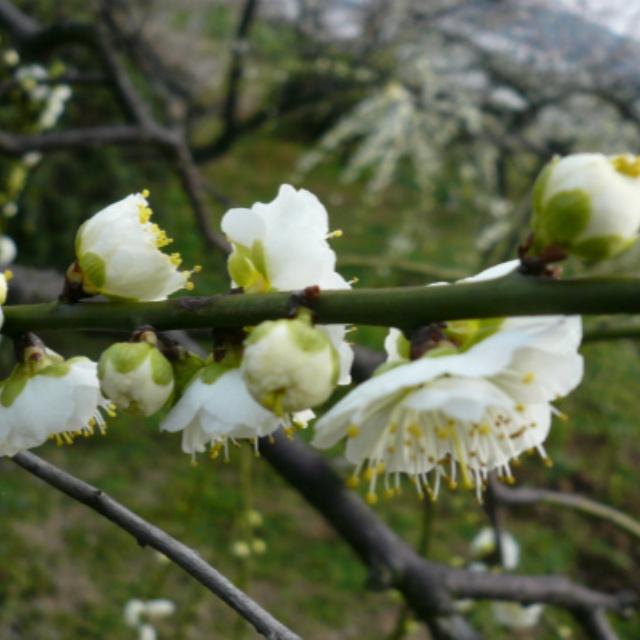 绿萼梅树苗