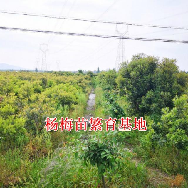 黑炭(荸荠种)杨梅树苗