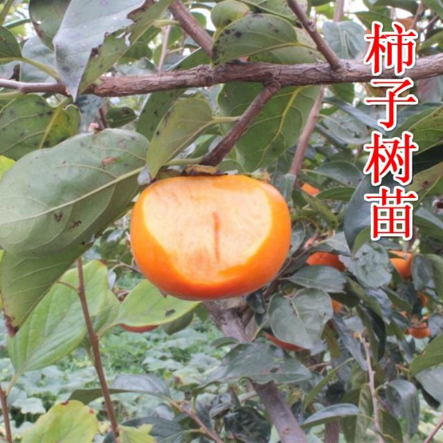 太秋甜柿苗