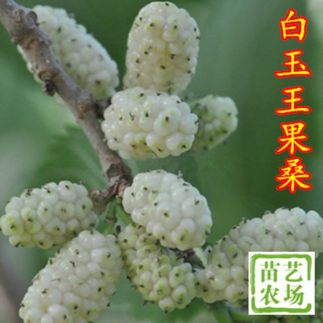 韩国大白珍珠果桑苗