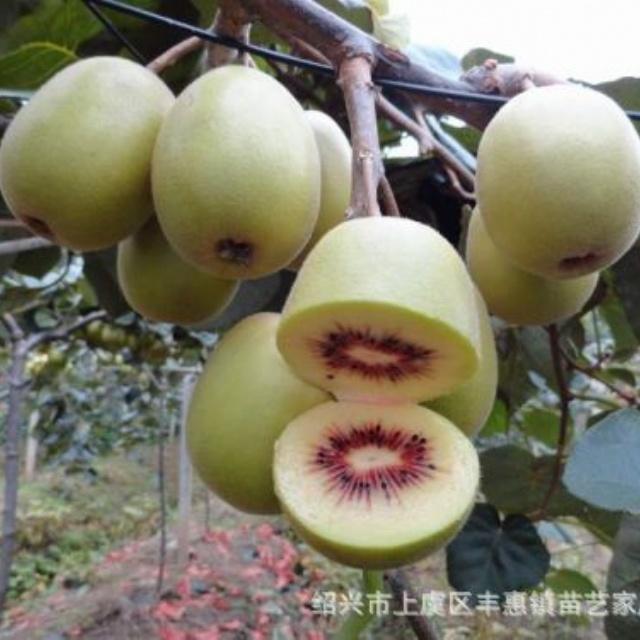 红阳红心猕猴桃苗