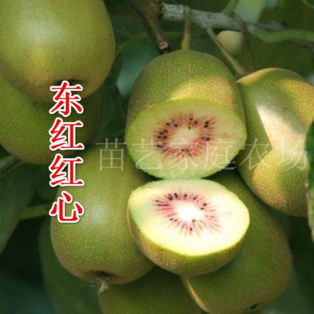东红红心猕猴桃苗