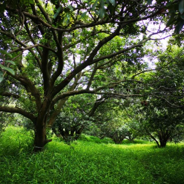 绿化工程用杨梅树苗