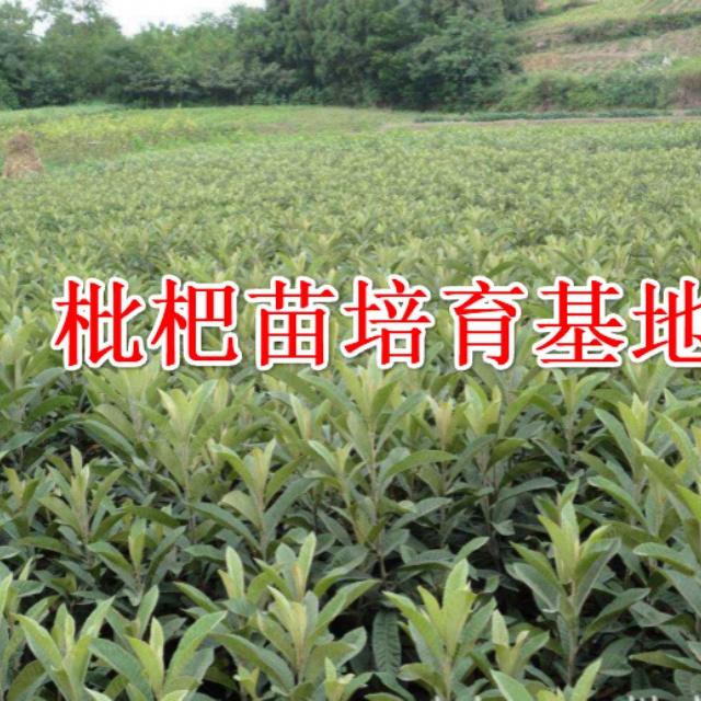 白玉枇杷苗
