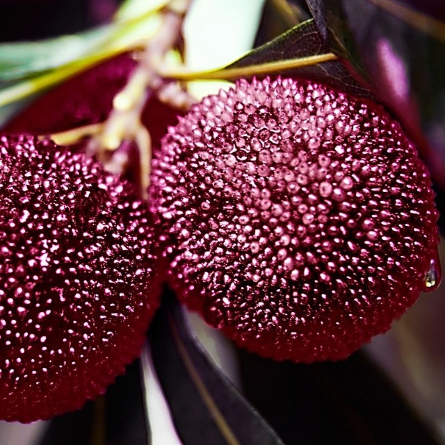 三年可挂果新品种杨梅苗