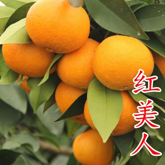 爱媛28号红美人柑橘苗