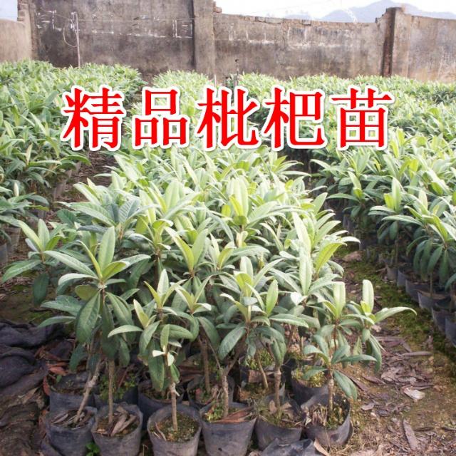 白荔枝枇杷苗(宁海白)