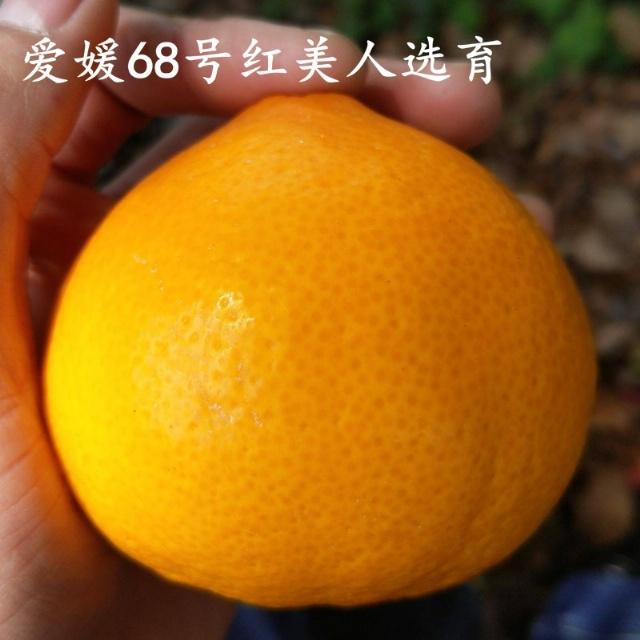 黄美人柑橘苗